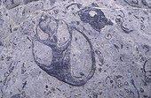 Fossile de Gastéropode à l'Ere secondaire ; Réserve géologique de Platé