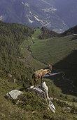 Bouquetin mâle regardant la vallée PN Vanoise France