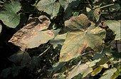 Oïdium sur  feuilles de concombre France