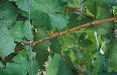 Oïdium de la Vigne sur tige France