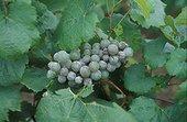 Pourriture grise et Oïdium sur grappe de raisin dans vigne