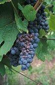 Pourriture grise et Oïdium de la Vigne sur grappe France
