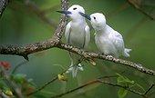Pair of White Terns Bird Island Seychelles