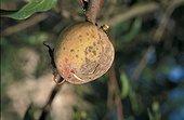 Tavelure sur Pêche de vigne dans l'arbre France