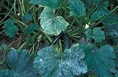 Oïdium des Cucurbitacées sur feuilles de Courgette France