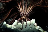 Crinoïde sur Corail mangeant du plancton la nuit Mer Rouge