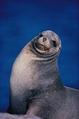 Male Galápagos fur seal Galápagos Ecuador