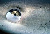 Membrane nictitante d'un Requin de récif Bahamas