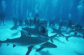 Requin de récif et shark feeding Bahamas Grandes Antilles