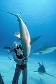 Shark hangler lifting a Shark in hypnotic trance Bahamas ; The tonic immobility response may be obtained from the Sharks in caressing the nose, area of ampullae of Lorenzini. The diver may then handle the fish at its discretion.
