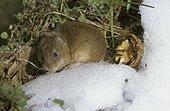 Campagnol des champs et sa réserve de noix en hiver France