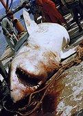 Grand requin blanc pris dans le filet de pêche aux Thons ; Favignana, Italie.