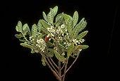 Gros plan d'Elaeocarpus récoltée au Mont Mandjélia ; Récoltée pour être soumise à de nouveaux tests biologiques<br/>Chercheurs de l'Institut de Chimie des Substances Naturelles du CNRS<br/>Expédition scientifique à la recherche de nouvelles substances