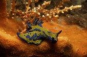 Nudibranche Tambja dans un récif corallien Port Stephens  ; Australie