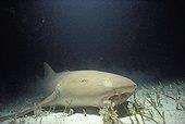 Nurse shark Bimini Bahamas Greater Antilles