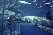 Cage to make a movie about the Great White Shark Australia ; Site : Dangerous Reef