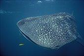 Requin baleine et jeune Carangue royale jaune Australie WST ; Ningaloo Reef
