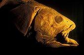 Portrait d'un Coelacanthe Aquarium de Vancouver Canada