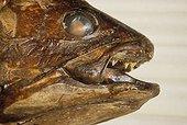 Portrait d'un Coelacanthe naturalisé Shanghai Chine