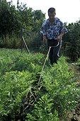 Eclaircissage de semis de carotte France
