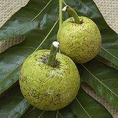 Fruits de l'Arbre à pain Guadeloupe