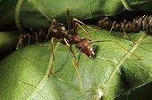 Fourmi Oecophylle sur une feuille Gabon