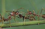 Weaver ants regurgitating food for each other Gabon