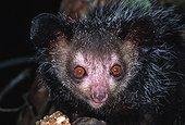 Portrait d'un Aye-aye Daubenton Madagascar