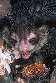 Aye-aye Daubenton mangeant un rayon de miel Madagascar
