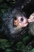 Aye-aye Daubenton cherchant larve d'insecte Madagascar ; Doigts longs et fins permettant extraction des larves de xylophages