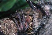 Gros plan des doigts d'un Aye-aye Daubenton Madagascar ; Doigts très longs et fins permettant d'extraire les larves d'insectes xylophages