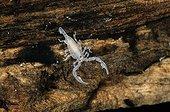 Jeune Scorpion noir au stade 2 Ile de Lesbos Grèce ; Couleur blanche jusqu'au stade 3