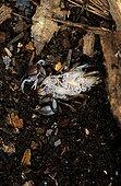 Scorpion femelle portant ses  pullus au stade 1et 2 ; Couleur blanche jusqu'au stade 3. Ile de Lesbos Grèce