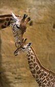 Tendresse entre une Girafe et son girafon Doué la Fontaine