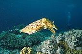 Sèche géante sur un fond corallien Papouasie-Nouvelle-Guinée ; Papua Barat KRI Island