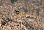 Philante apivore venant de paralyser une abeille