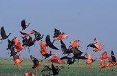 Groupe d'Ibis rouges et verts en vol Llanos Venezuela