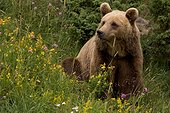 Brown bear sitting in summer Portrait France ; Les Angles Wildlife Park