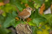 Eurasian Wren with an insect in its beak France