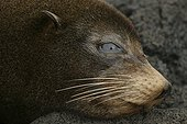 Portrait d'Otarie à fourrure des Galapagos Iles Galapagos