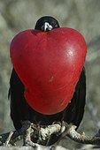 Portrait de Frégate superbe mâle Iles Galapagos