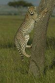 Jeune Guépard s'essayant à grimper à un arbre ; Agé de 6 mois Masaï Mara Kenya