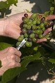"""Eclaircissage du raisin """"Muscat de Hambourg"""" en septembre"""