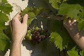 "Effeuillage du raisin ""Muscat de Hambourg"" en septembre"