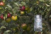 Piège à guêpes artisanal dans un pommier en septembre ; Bouteille de plastique remplie d'eau sucrée