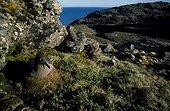 Albatros fuligineux à dos clair sur le nid Archipel Crozet