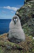 Poussin d'Albatros fuligineux à dos clair sur le nid Crozet