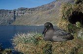 Albatros fuligineux à dos sombre sur le nid Archipel Crozet