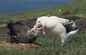 Albatros hurleur mâle nourrissant son poussin près à l'envol ; Archipel de Crozet