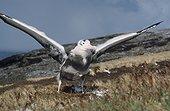 Poussin d'Albatros hurleur en mue s'exerçant à battre des ai ; Archipel de Crozet
